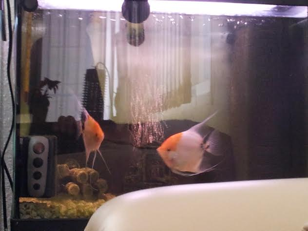 For sale: Tropical Fish and Tanks - Buy and sell items in Playa