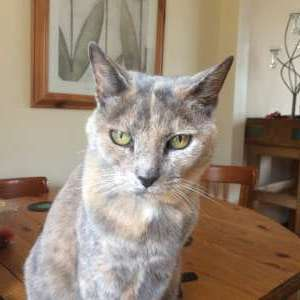 Lost: Beige and grey tortoisehell cat lost in Portico Mediterraneo