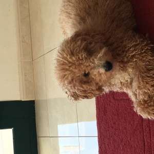 Looking for a new home for our toy poodle