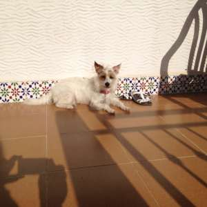 Lost: Lost crossbreed dog Lola in El Pinet