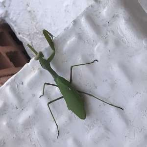 Big green insect