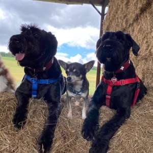 Moving to Spain with my two Giant Schnauzers from UK