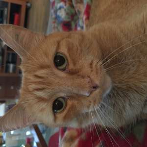 Lost: Ginger cat lost in La Florida
